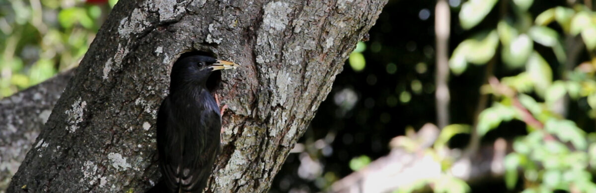 A Spotless Starling (Sturnus unicolor) perched at the entrance to the nest while carrying a bug on it's beak